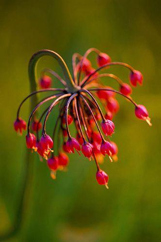 ~~ emerging buds of allium cernuum ~~