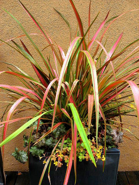 520 best phorium new zealand flax images on pinterest potted phormium pink flamingo heuchera silver scrolls oxalis copper glow thecheapjerseys Image collections