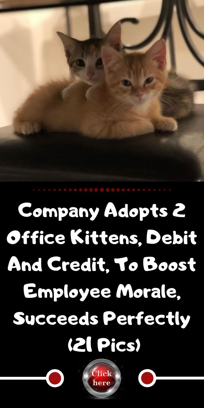 Company Adopts 2 Office Kittens Debit And Credit To Boost Employee Morale Succeeds Perfectly 21 Pics Kittens Cute Cats Photos Employee Morale