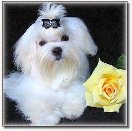 Maltese White Magic Made In Europe Maltese Puppy Dog Bows Dog