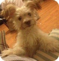 Pilot Point, TX - Schnauzer (Miniature)/Chihuahua Mix. Meet SAMSON a Dog for Adoption.