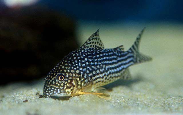Corydoras Sterbai 3 70 77 F Kh 0 15 Ph 6 2 7 8 Beautiful Fish Catfish The Secret