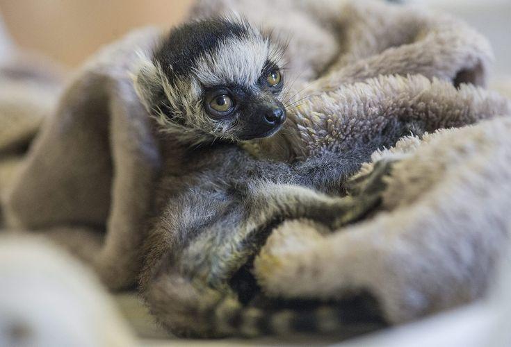 -lemur catta-