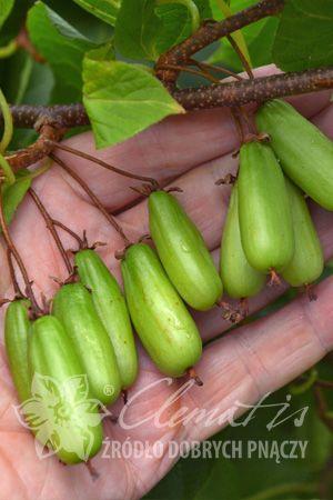 Актинидия коломикта Витакола, саженцы в горшках от ФХ Батькив сад