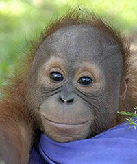 Excitement is mounting in our Adopt-An-Ape program! Have you voted yet? There isn't much time left!