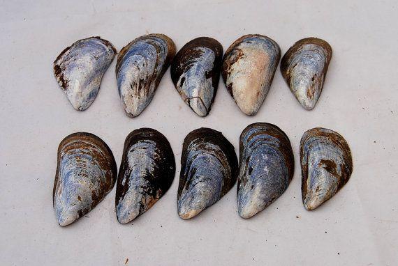 10 big blue mussel shells sea shells blue by Scandicreations