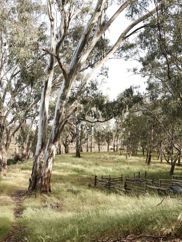 Eucalyptus trees on Matt and Lentil's property. Photo by Eve Wilson, styling by Stefanie Stamatis for The Design Files.