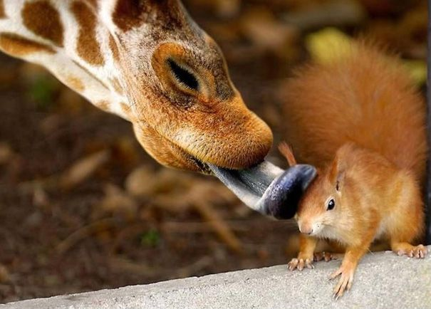 Timed Animal Photos: A Kiss, Sweet, Squirrels, True Love, Pictures, Animal Friends, Funny Animal, Animal Photos, Giraffes