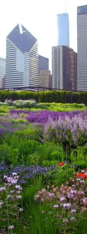 Lurie Garden in Millennium Park...a beautiful oasis in the heart of the Chicago.