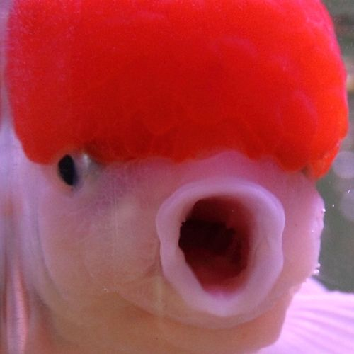 17 best images about goldfish with brains orandas on for Milky koi fish