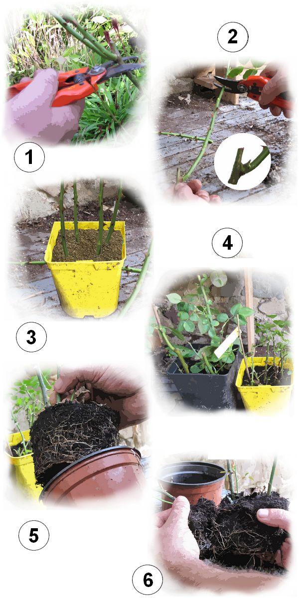 Les 25 meilleures id es de la cat gorie taille des rosiers grimpants sur pinterest planter un - Quand tailler les rosiers buisson ...