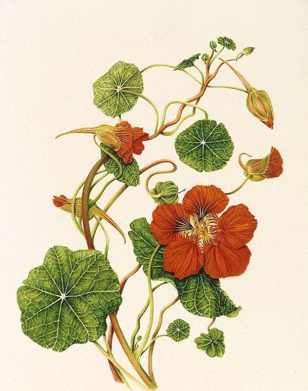 Tropaeolum majus (Nasturtium) - Botanical illustration by Milly Acharya