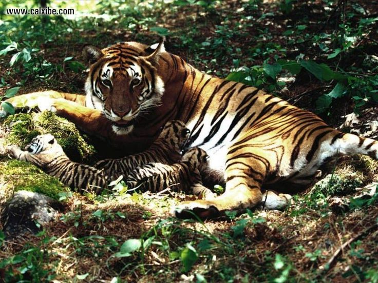 images of tigers & tigresses | Yuku free message boards