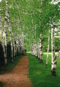 Betula pendula - silver birch; is an elegant medium-sized deciduous tree with slender drooping twigs; one of the holy trees worshiped by the ancient Slavs