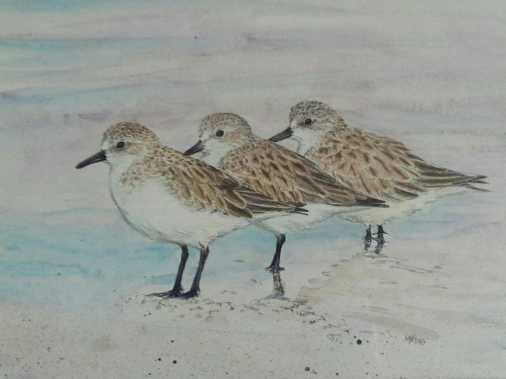 Tiny Red-necked Stints. Migratory waders. Non-breeding plumage. Tasmania. Watercolour. Melhillswildart.