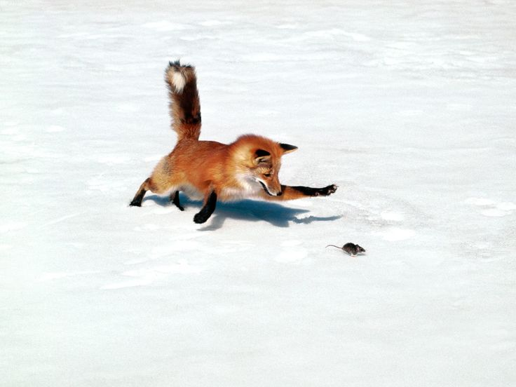 Get 'em!: Foxes Chase, The Hunt'S, Foxes Hunt'S, Birds Pictures, Desktop Wallpapers, Red Foxes, Photo, Backgrounds Pictures, Animal