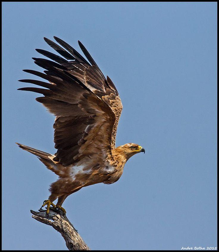 Tawny Eagle takes to the sky north of Satara.