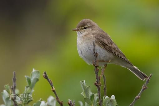 Willow Warbler, Fitis, felosa-musical -  Phylloscopus trochilus