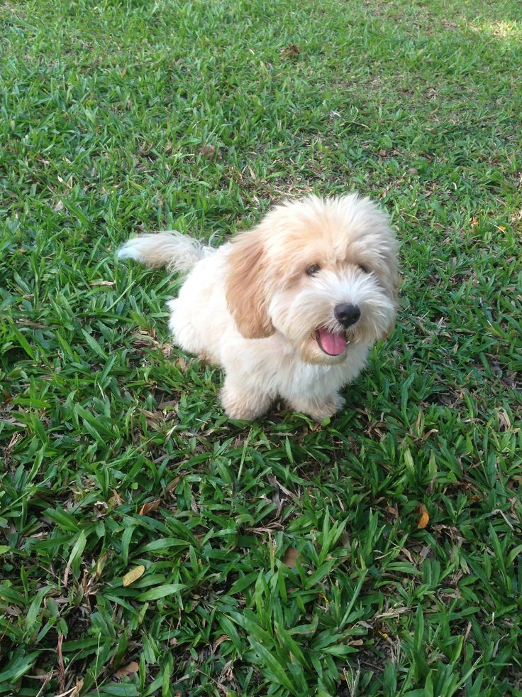 1000  images about oodle moodle    maltipoo on pinterest