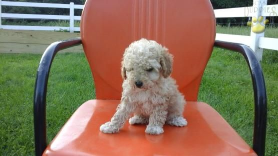 Reba Poodle Toy Puppy For Sale In Fresno Oh Lancaster