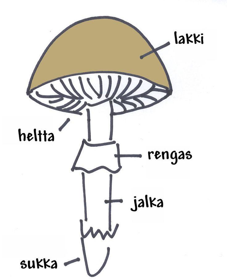 Sienen osat.