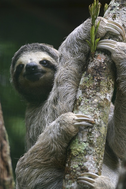 """Sloth. All sloths have three toes, but """"two-toed"""" sloths only have 2 claws. They can actually move quickly and will slash with their large claws – the slow-moving behavior is to avoid predators like hawks. They actually hang most of their lives. Sloths typically have over 600 species of bacteria, plants and animals living on them at any given time. These unusual creatures can rotate their heads 270 degrees. Lore has it that sloths adore beer and are able to """"hold their liquor"""" amazingly…"""