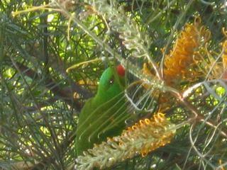 a native Australian parrot feasts on Banksia flowers