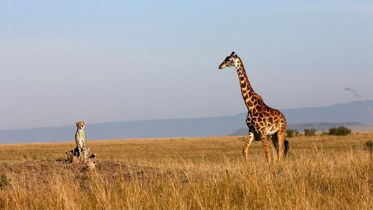 Gepard a zirafa