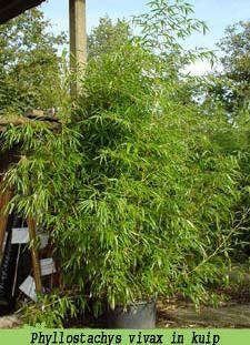 Bamboe planten als kuipplant voor op het terras of balkon