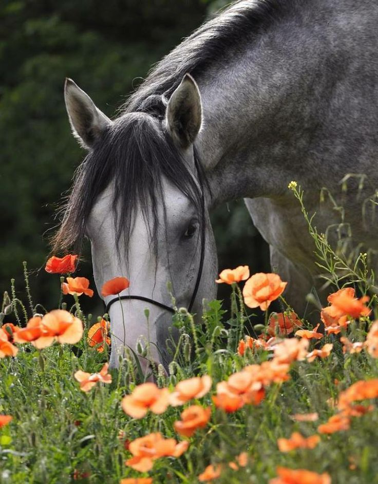Stop and smell the flowers... or eat them, as the case may be. - Beautiful horse in a poppy field.