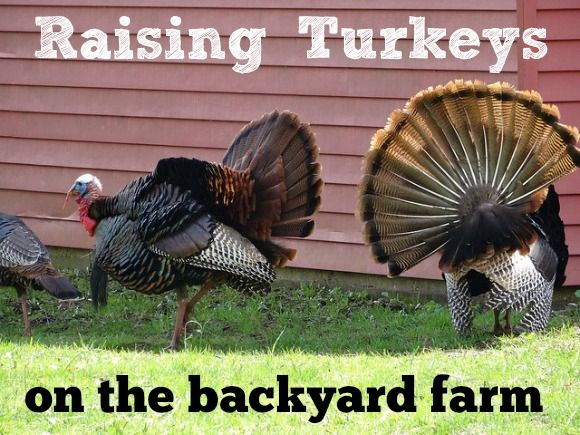 Raising Turkeys on the Backyard Farm - breeds, ordering or buying chicks, feeding and raising homegrown turkeys.