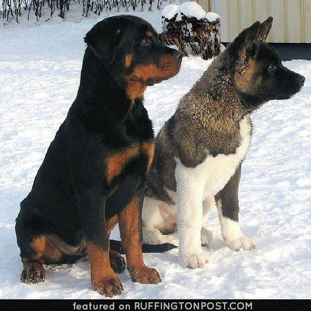 this rottweiler and husky are buddies httpwww