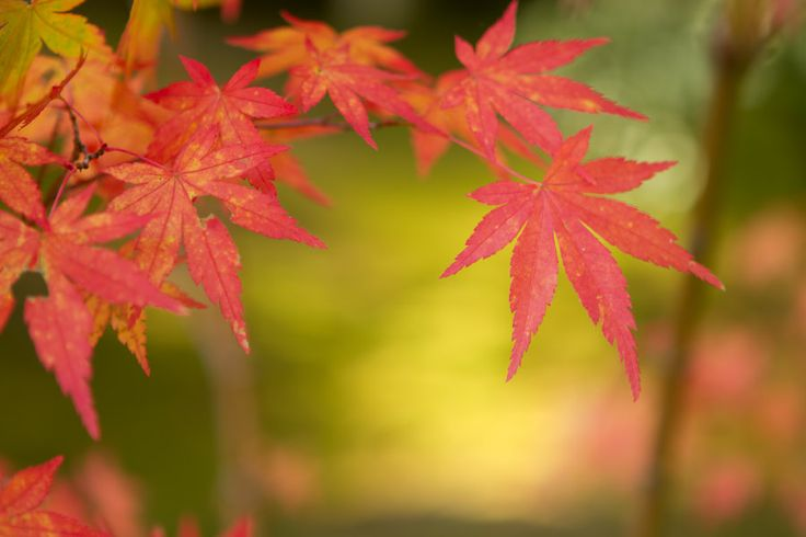 26 best my favorite tree images on pinterest acer Japanese maple leaf