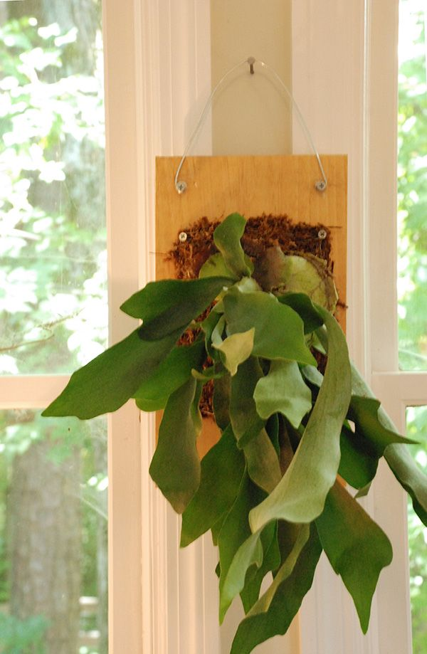 I've been obsessing over the staghorn fern for a while now. Have you seen these? They are so striking! You can pot them in a regular pot too, but mounting them makes for a really interesting house ...