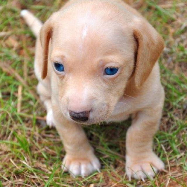 Download Cute Puppy Blue Eye Adorable Dog - bea51f69c246b3d727a5a6ffda97e8f4--cutest-puppy-ever-blondes  Collection_607293  .jpg