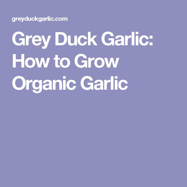 Grey Duck Garlic: How to Grow Organic Garlic