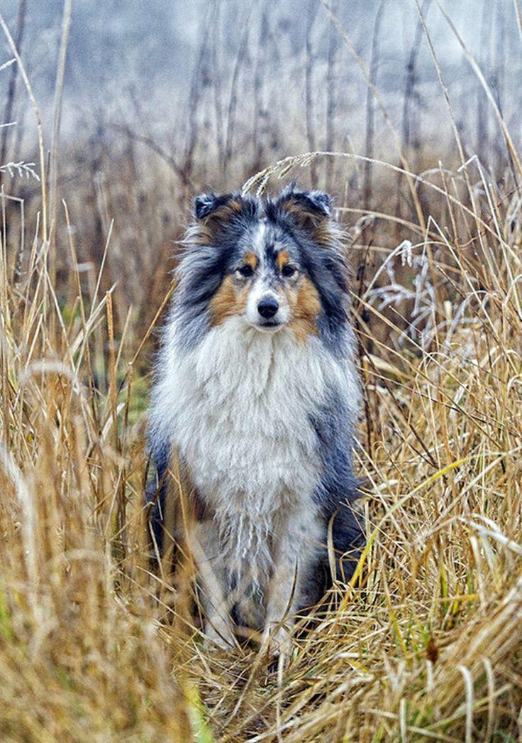 Australian Shepherd - Pastor Ovejero Australiano