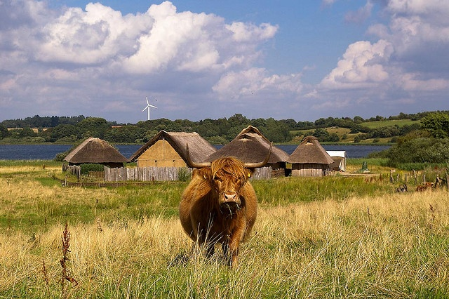 A scottish highland cattle in front of the new viking houses in the old viking settlement Haithabu