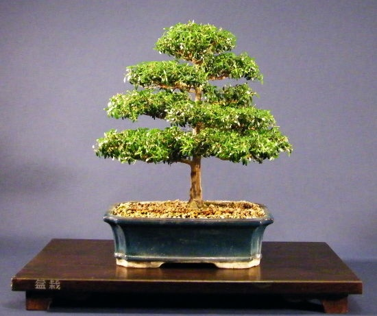 20 besten Myrten-Bonsai Bilder auf Pinterest   Bonsai, Pflanzen und ...