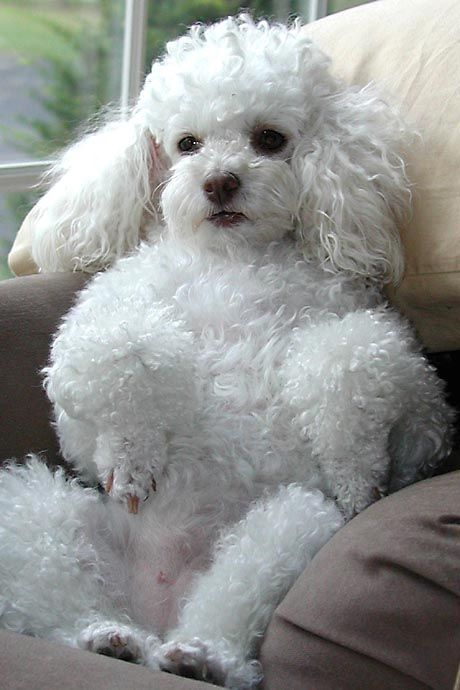 The most charming dogs in the world!: Miniature Poodle