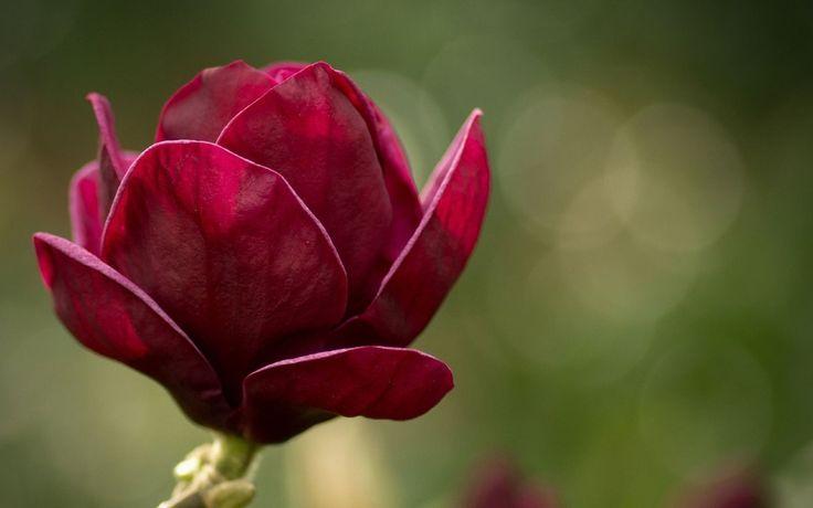 Red Magnolia (5 Seeds)