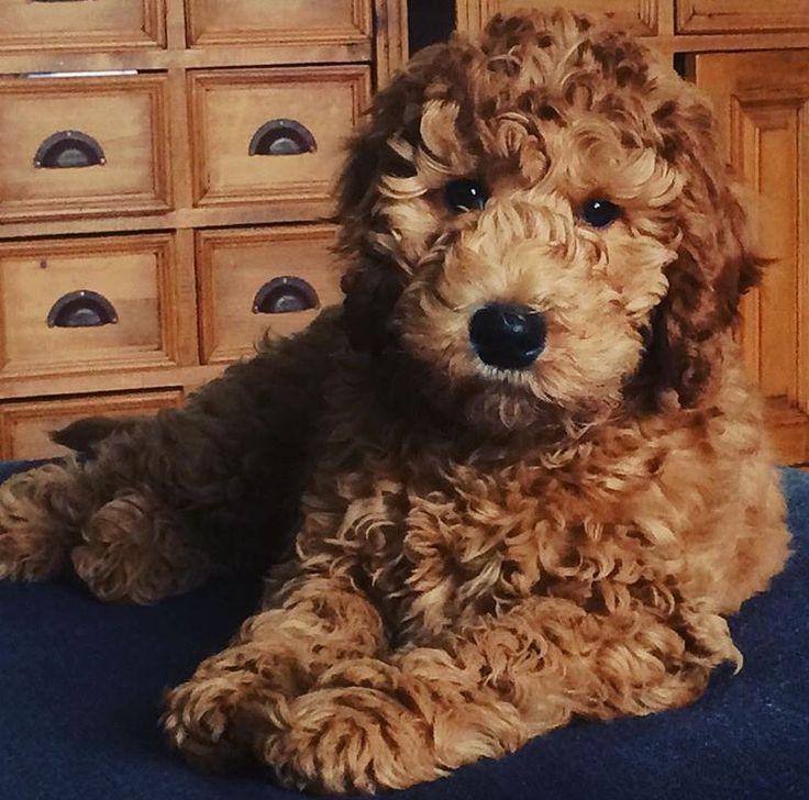 Onze lieve Ollie #labradoodle 3 maanden oud