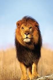 Lev africký - Stepy v Africe