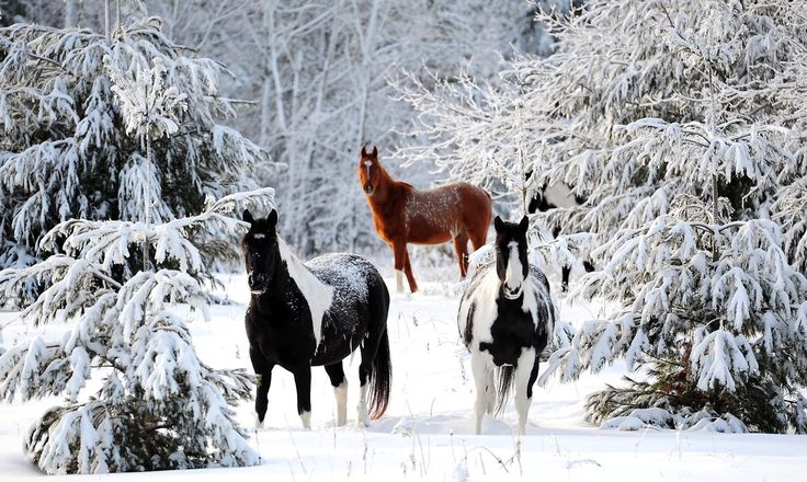 Horses roam through snow-covered trees in their pasture near the Lower Roy Lake Road in Nisswa, Minnesota, December 31, 2010. (Photo by Steve Kohls/Brainerd Dispatch)