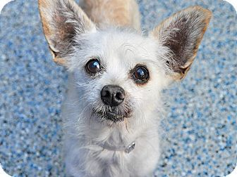 Long Beach, CA - Terrier (Unknown Type, Small) Mix. Meet Harrod, a dog for adoption. http://www.adoptapet.com/pet/16840437-long-beach-california-terrier-unknown-type-small-mix