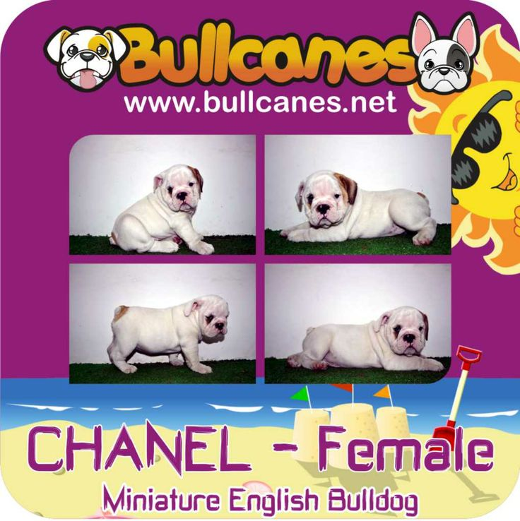 CHANEL MINIATURE ENGLISH BULLDOG PUPPIES FOR SALE http://www.bullcanes.net / ceo@bullcanes.net / Facebook: bullcanes1@hotmail.com / instagram: @BULLCANES Bulldog puppies for Sale / Twiter: bullcanes1 / YouTube: Bullcanes Bulldog Kennel