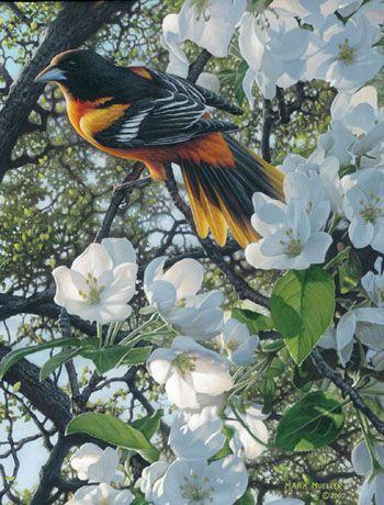 Mark Mueller bird painting - oriole