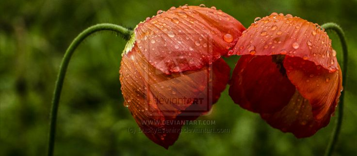 Photography-Poppies after rain