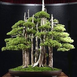 """Goshin (""""protector of the spirit"""") is a bonsai created by John Y. Naka. This is an eleven planting juniper forest type Foemina, the first that Naka began forming as bonsai in 1948."""