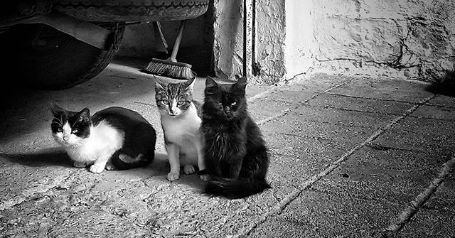 Three. 🐺❤🐱 #caturday #cat #kitten #kitten #cats #catlover #animal_captures #bnw_life #bnw_planet #bnw_rose #bnw_captures #monochrome #blackandwhite #blackandwhitephotography #mobilephotography #bw_greece #bw #bw_captures #catsofgreece #ig_europe #ig_greece #team_greece #ic_bw #bnw_just #insta_bw